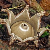 Земляная звезда тройная (Geastrum triplex s. l.)