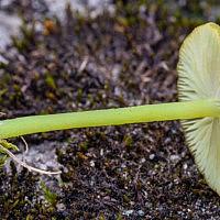 Энтолома седая (Entoloma incanum)