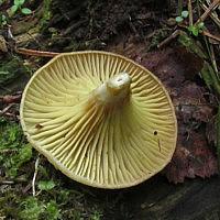 Псевдоармиллариелла чеканновидная (Pseudoarmillariella ectypoides)