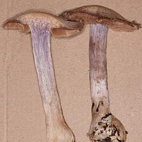Паутинник кварцевый (Cortinarius quarciticus)