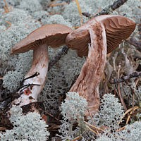 Паутинник Субера (Cortinarius suberi)