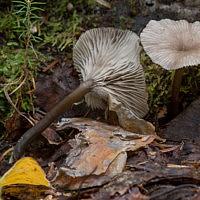 Аррения кубковидная (Arrhenia epichysium)