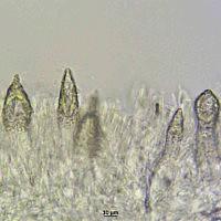 Флебиопсис гигантский (Phlebiopsis gigantea). Цистиды