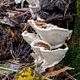 Гетеробазидион многолетний (Heterobasidion annosum)