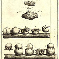 Carpobolus - Pier Antonio Micheli - 1729