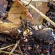 Сфероболюс звёздчатый (Sphaerobolus stellatus)