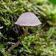 Цистоагарикус шерстисто-чешуйчатый (Cystoagaricus hirtosquamulosus)
