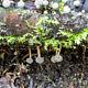 Рёслерия подземная (Roesleria subterranea)